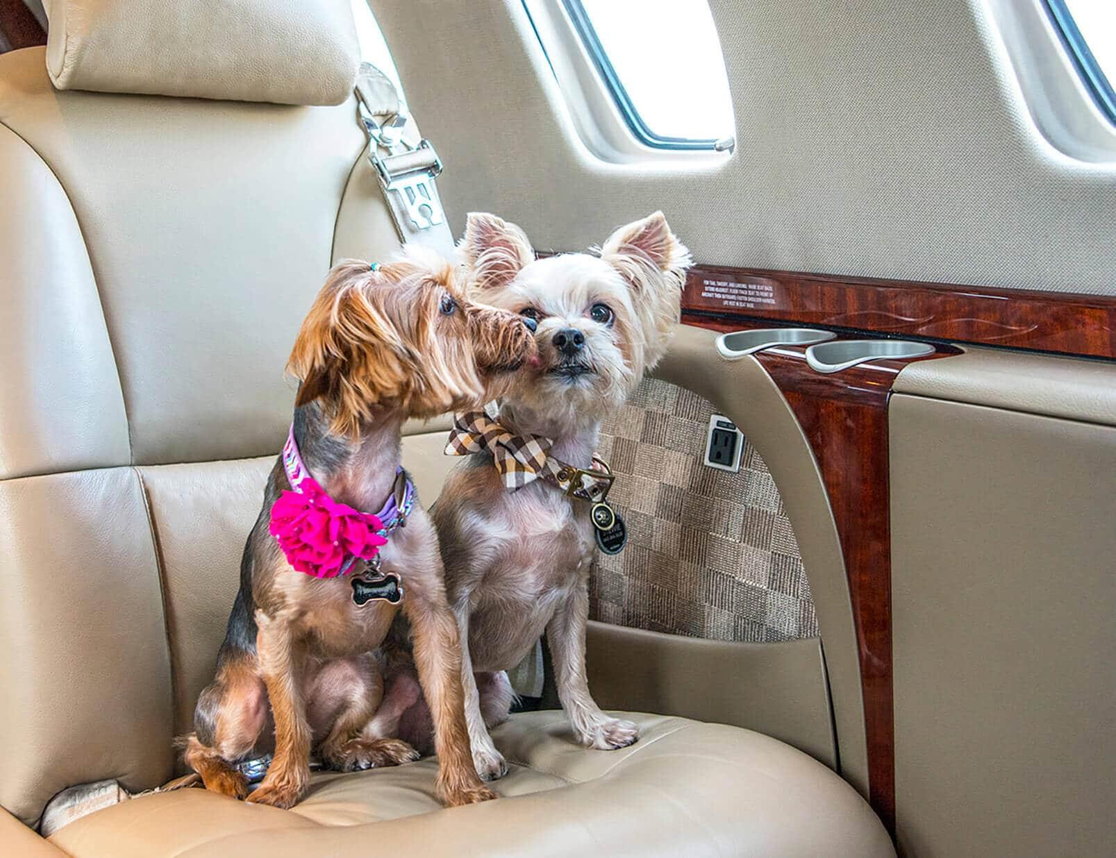 Two Dogs Sitting in Cessna Citation CJ3 Interior
